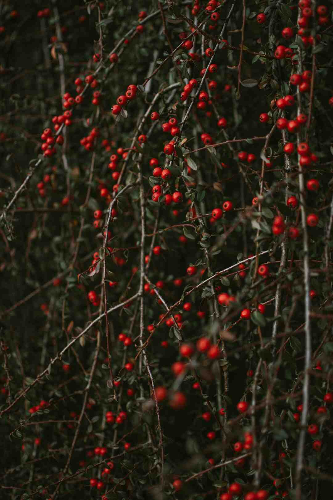 Comment cultiver le pyracantha