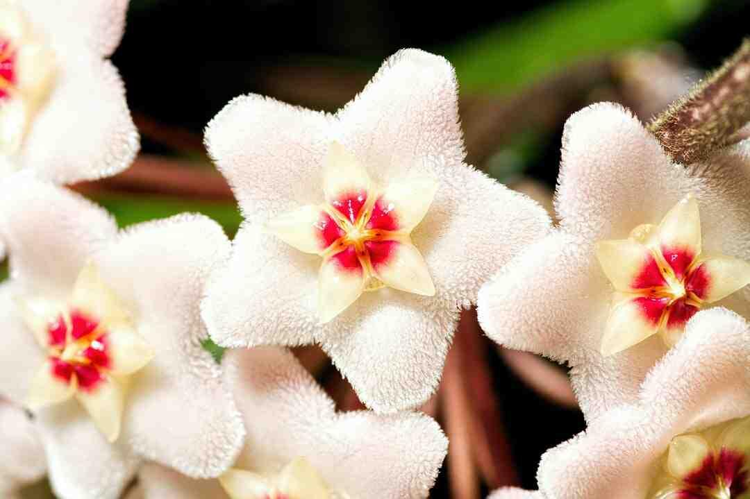 Comment faire fleurir un plant d'hoya