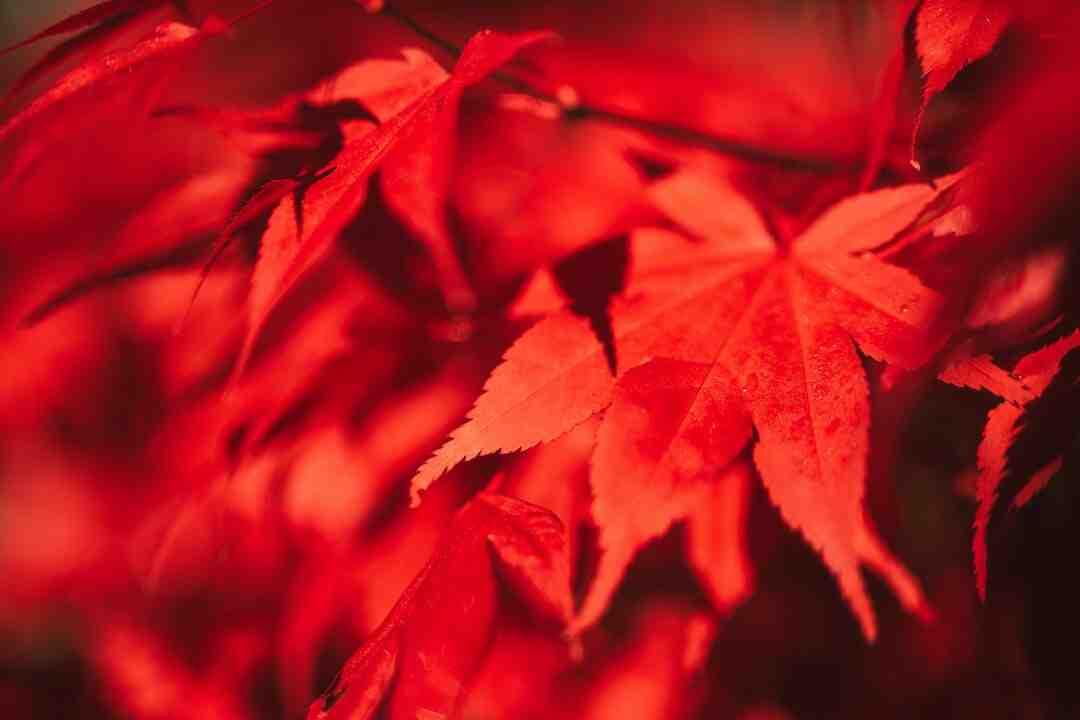 Erable du japon rouge