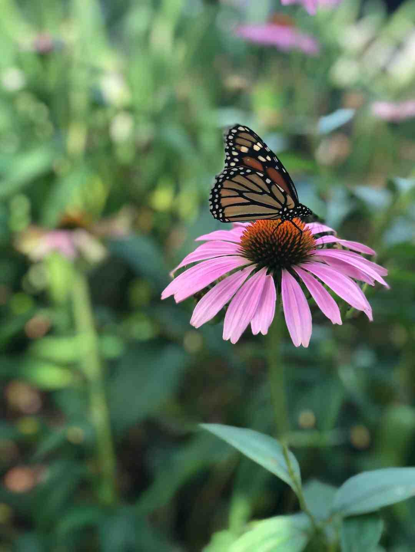 Comment créer un jardin pour attirer les papillons