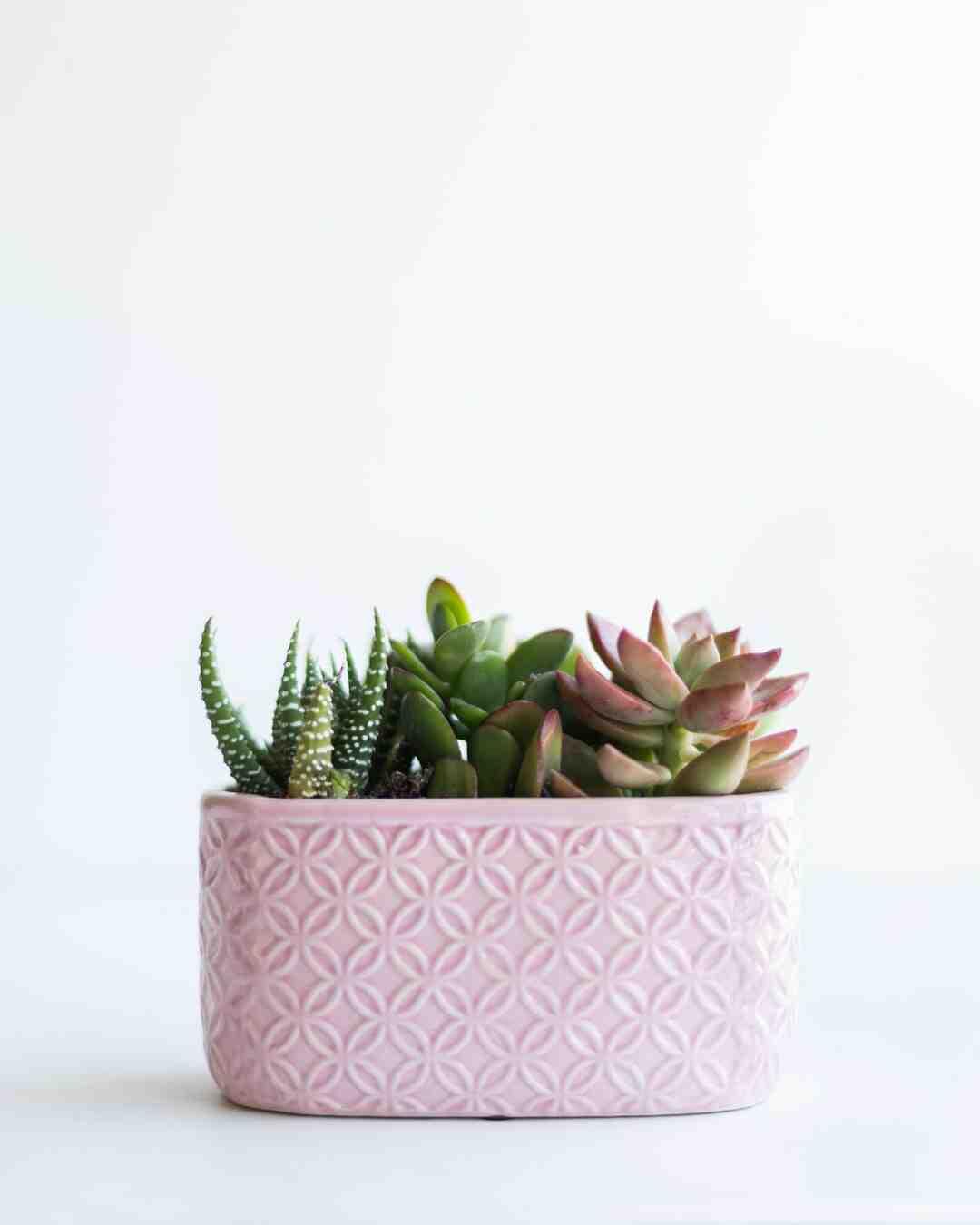 Comment entretenir une plante succulente