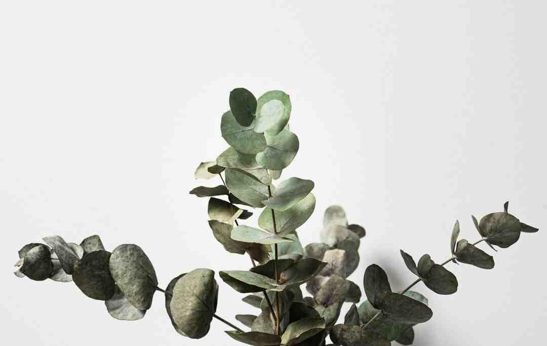 Comment faire pousser des eucalyptus