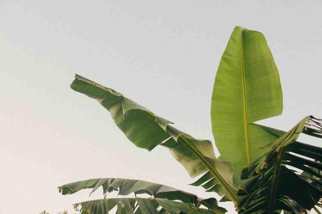 Comment planter un bananier