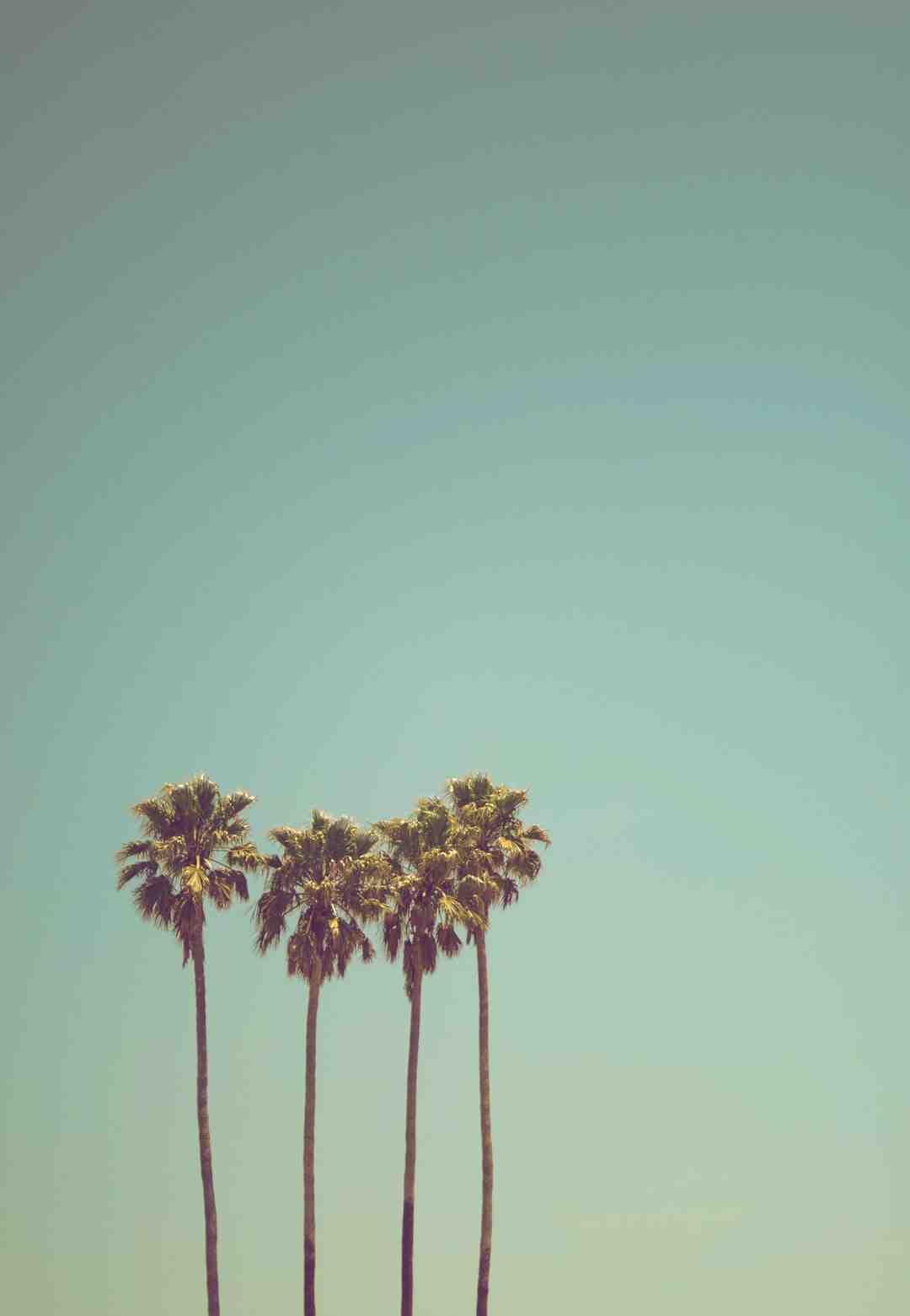 Comment planter un palmier
