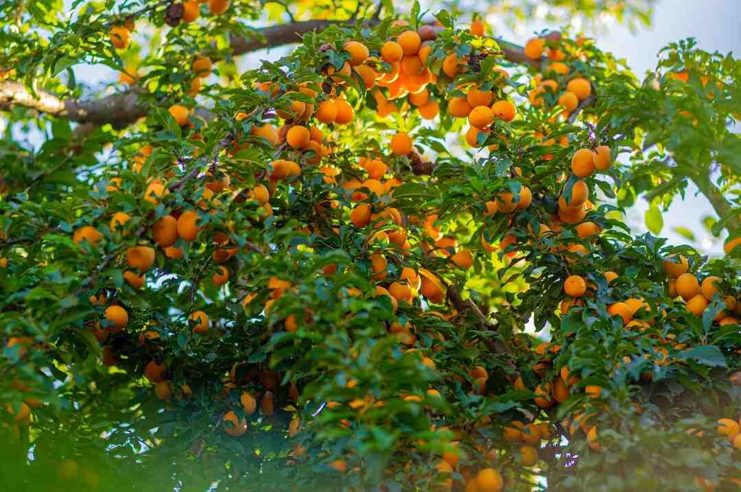 Comment tailler un abricotier en été ?