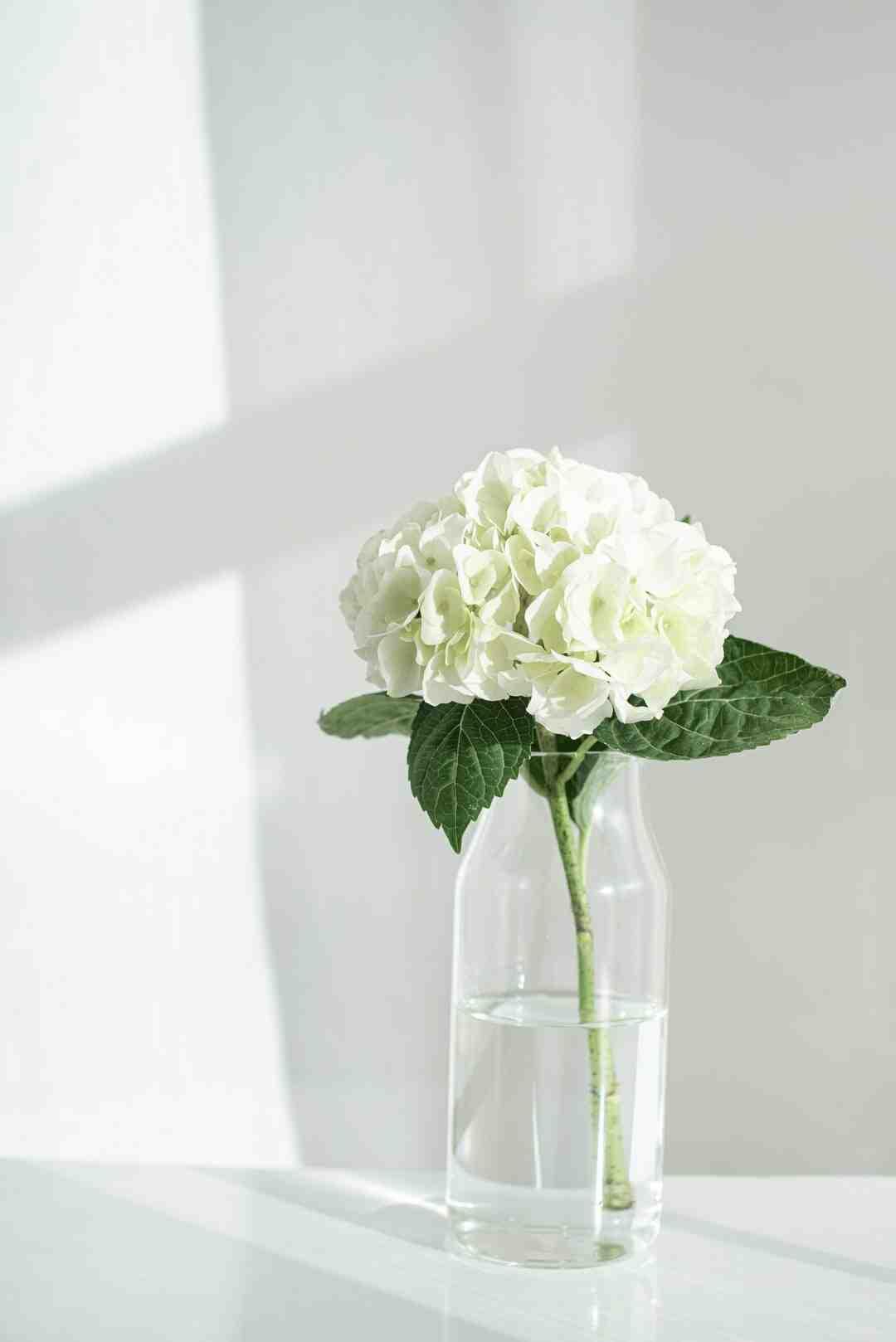 Quand planter un hortensia en pleine terre ?