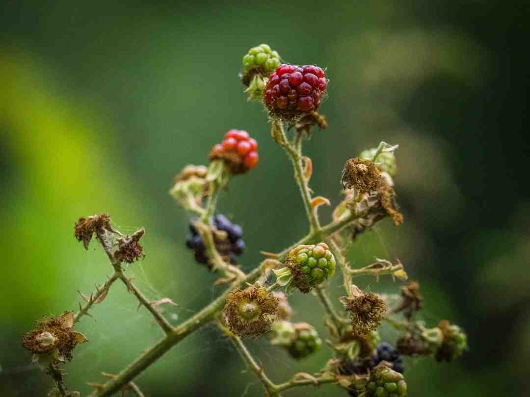 Comment planter des framboisier