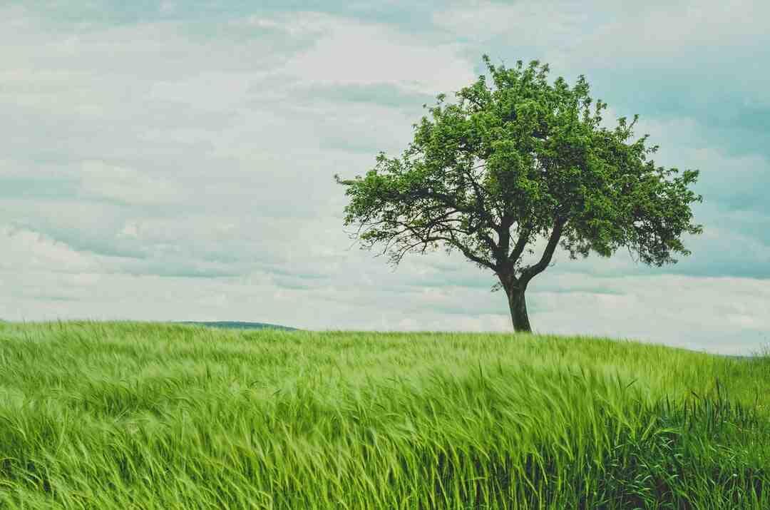 Où planter un arbre de Judée ?